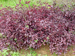 Amaranth Red Root