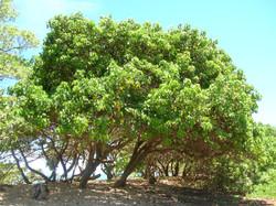 Portia Tree