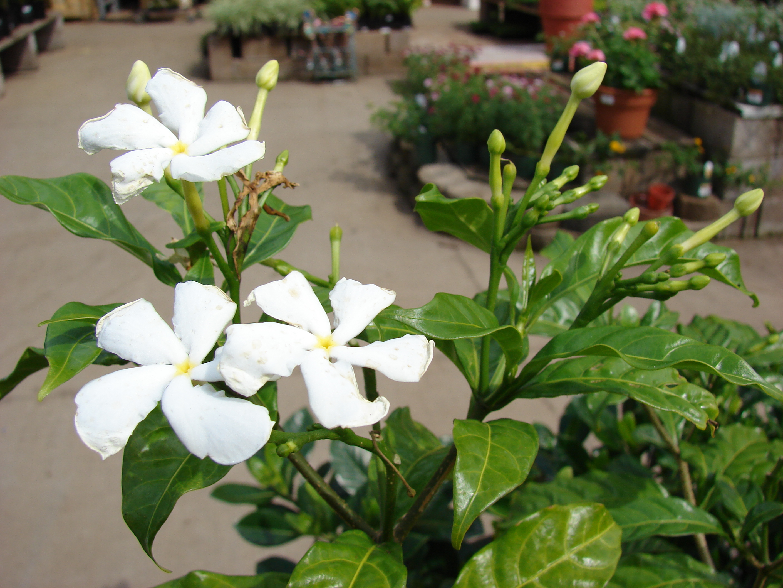 Crepe Jasmine