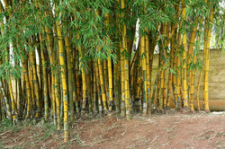 Common Bamboo