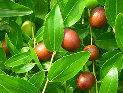 Siddr Tree