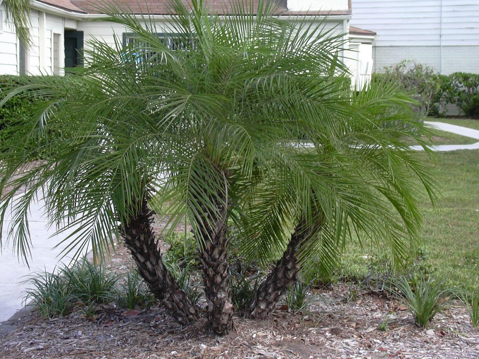 Pigmy Date Palm