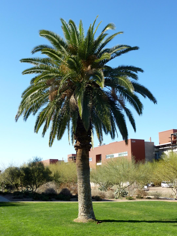 Canary Island Palm