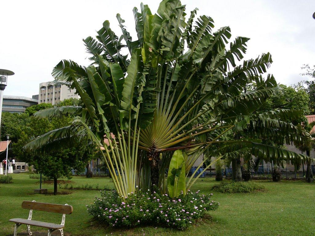 Traveler's Palm