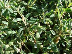 Australian Saltbush