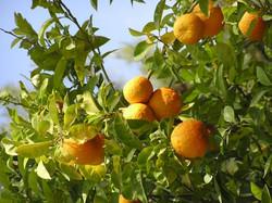 Sour Orange Tree