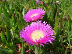Common Ice Plant