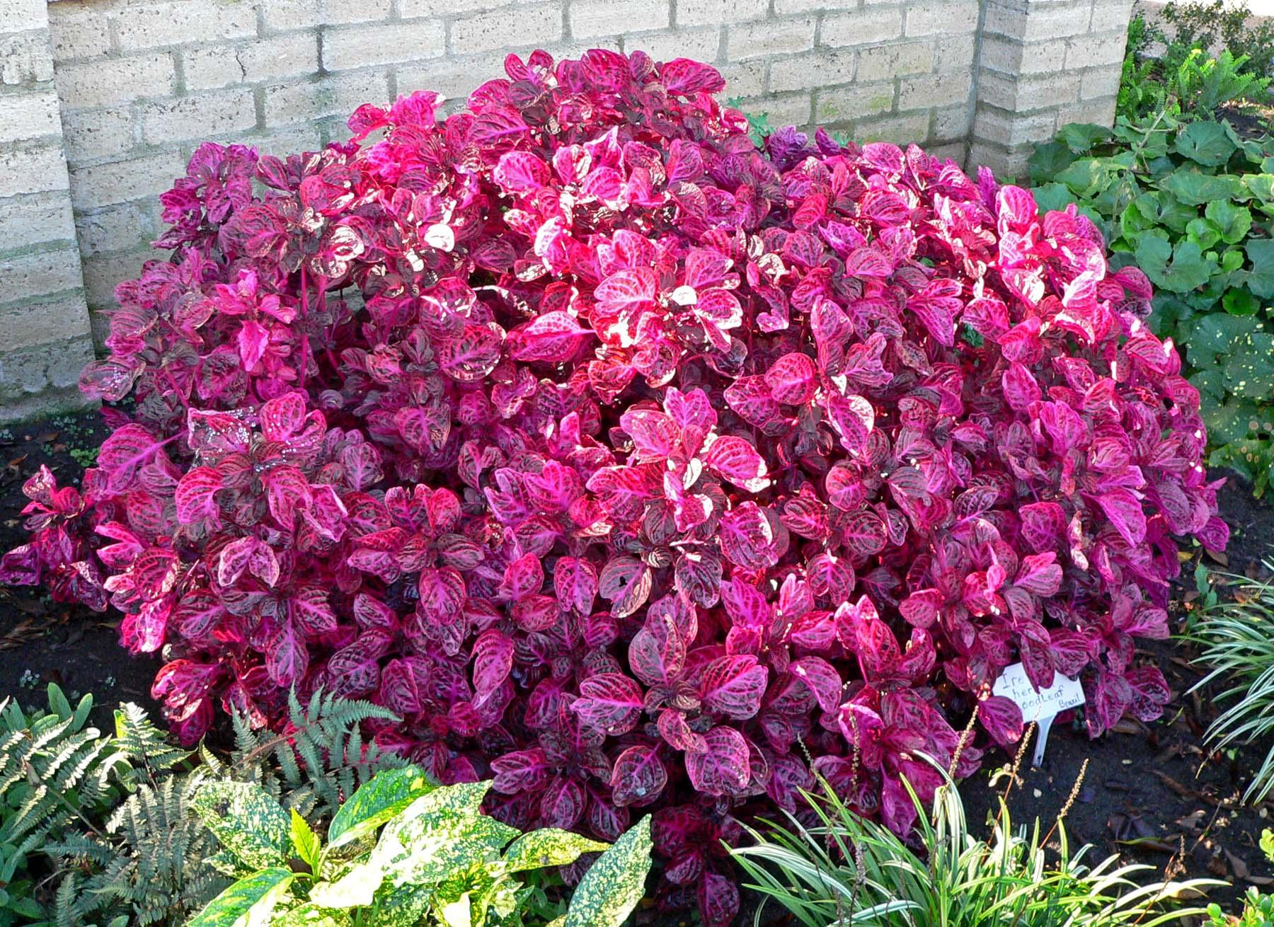 Bloodleaf-Beefsteak Plant