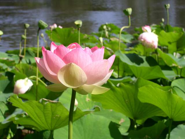 Sacred Water Lily