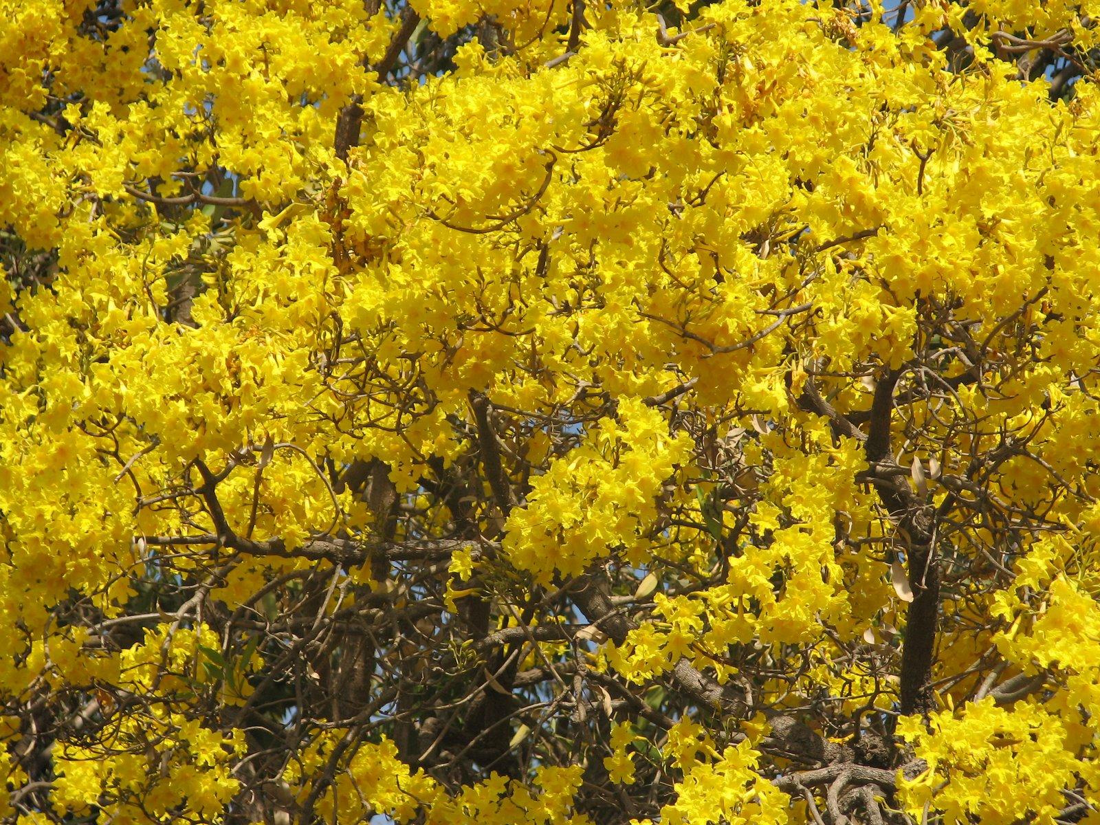 Caribean Golden Tree