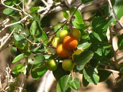 Jujube - Siddr Tree