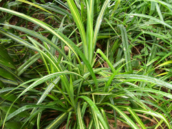 Timor Screw Pine