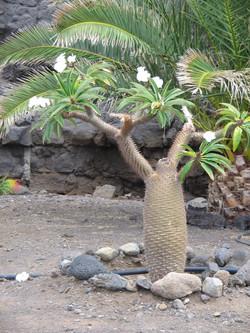 Madagascar's Palm