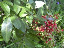 Brazillian Pepper Tree