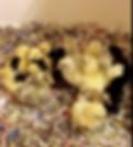 Orpington Chicks