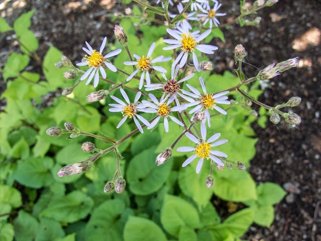 common flower found at northern resort