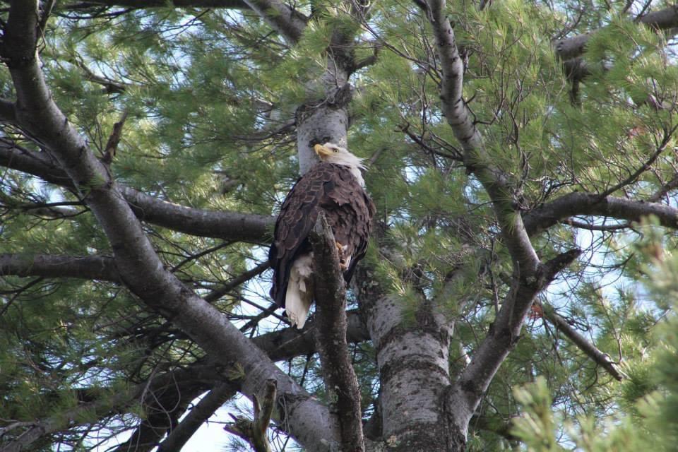 bald eagle in tree in minocqua
