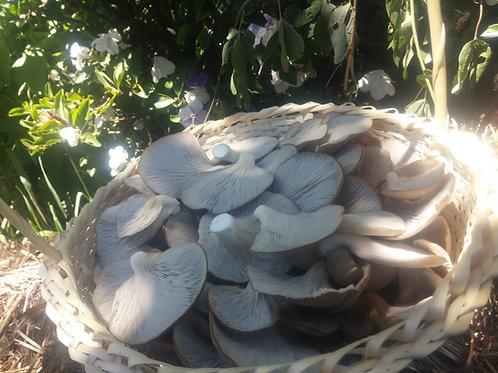 Micelio en grano de Hongo Ostra (Pleurotus ostreatus) - 5 Kilos