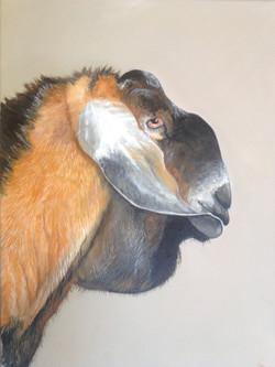 Toby - Nubian Goat