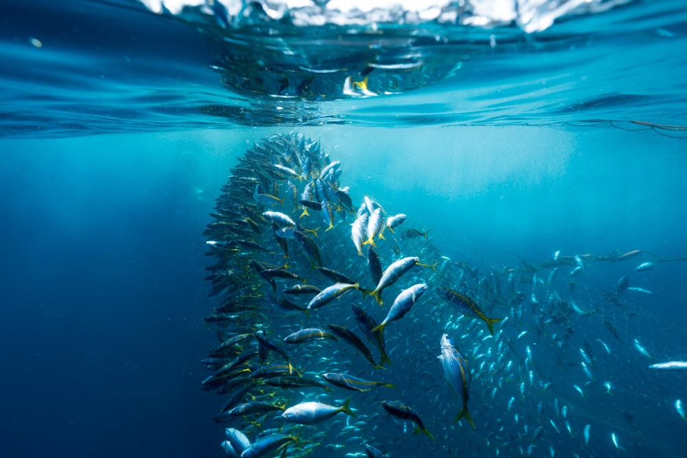 御蔵島のタカベ漁