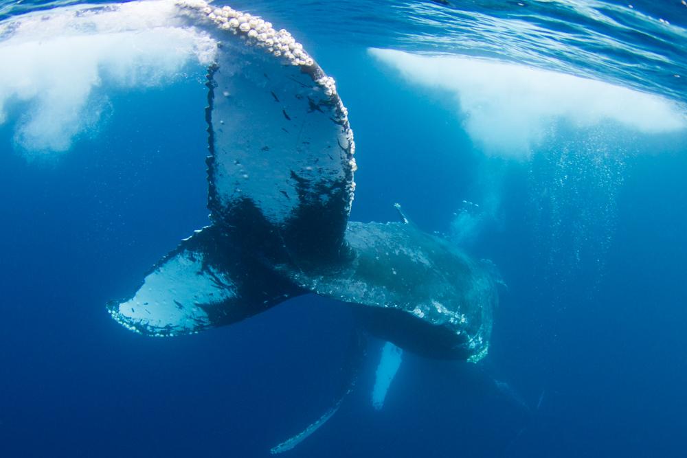 小笠原のザトウクジラ 水中写真 高縄奈々
