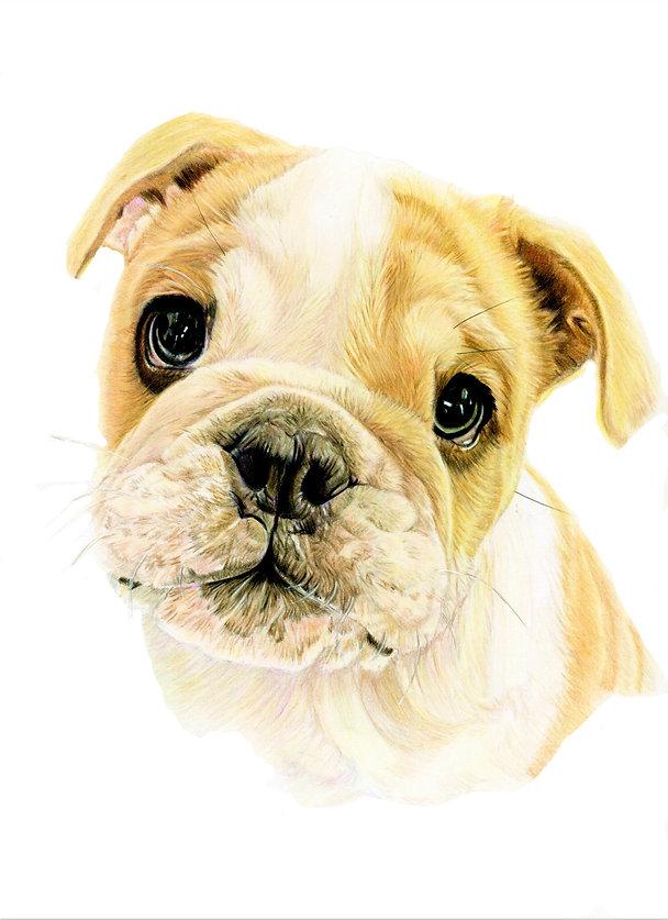 coloured pencil pet portrait commission of a bulldog puppy