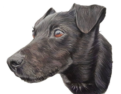 Coloured pencil drawing of a pet portrait dog commission