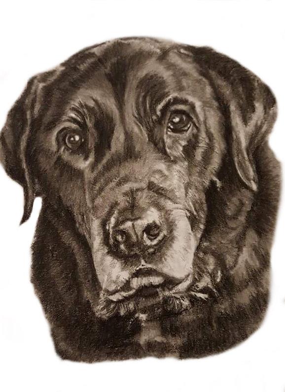 charcoal pet portrait commission of a black labrador