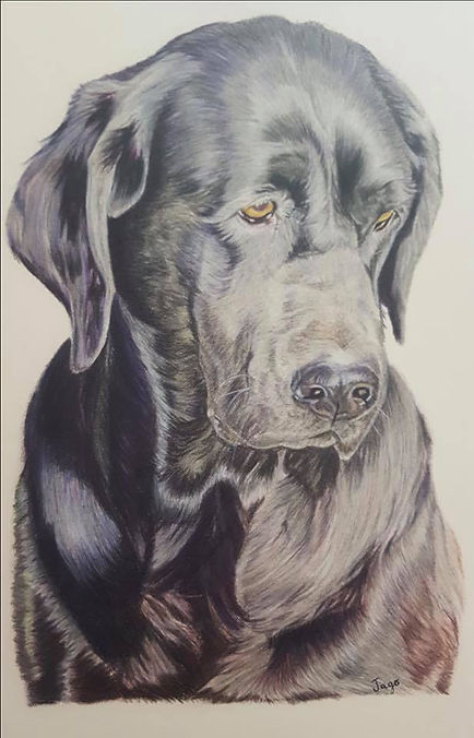 coloured pencil pet portrait commission of a black labrador