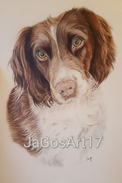 Coloured pencil pet portrait commission of a springer spaniel dog