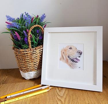 framed mini portrait of a coloured pencil pet portrait commission of a golden retriever