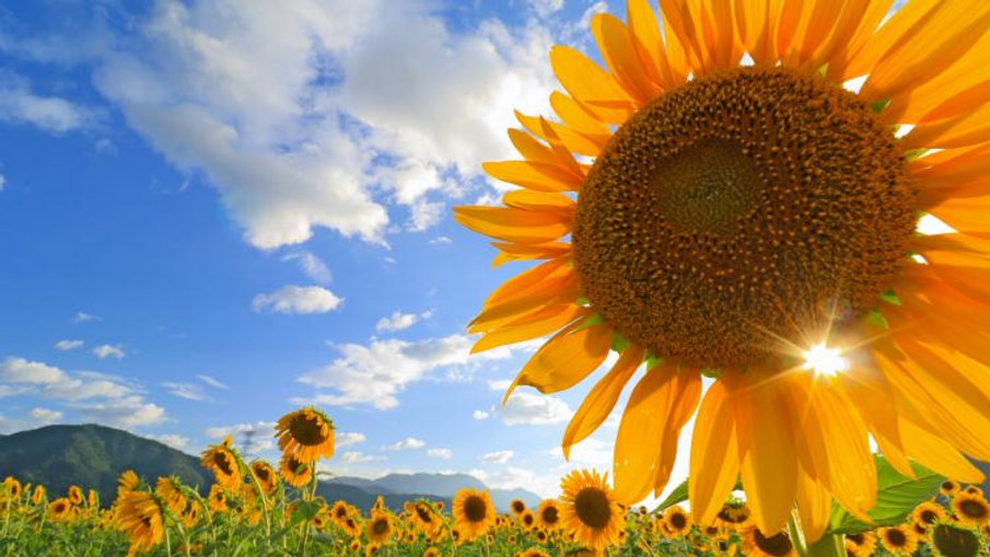 Visit Million Sunflower Field with Experience Peach Picking