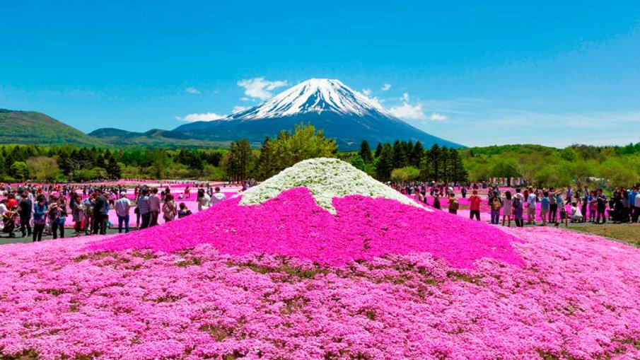 Dyed all in Pink, Fuji Shibazakura, Sightseeing at Mt. Fuji 5th Station