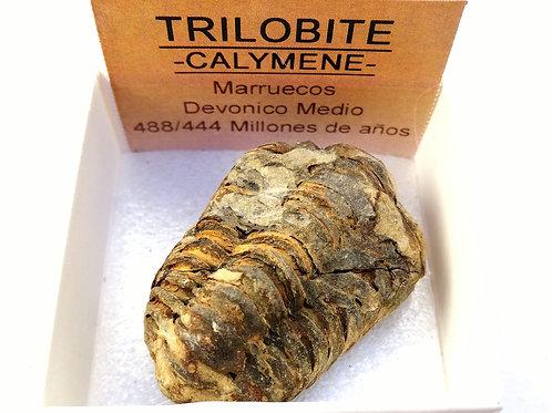 Trilobite pequeño