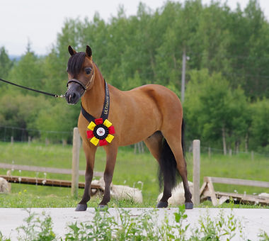 Champion Miniature Gelding