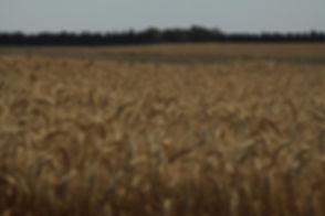 Bereich der Weizen