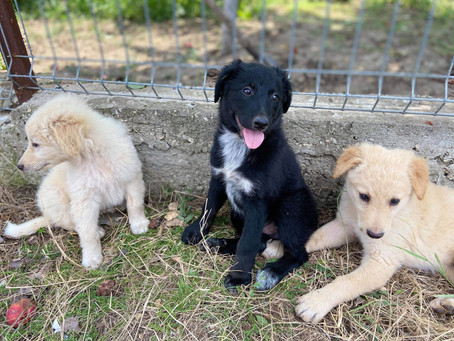 New puppies - Janette, Josefine and Joshi