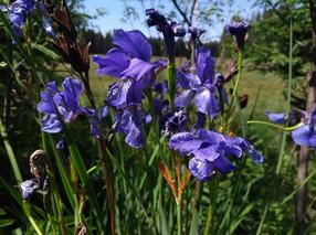 Sibirische Schwertlilien