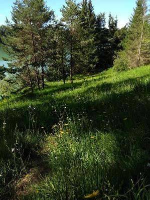 Schneeheide-Kiefernwald
