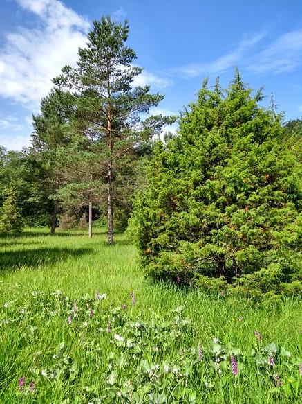 Lichter Kiefernwald