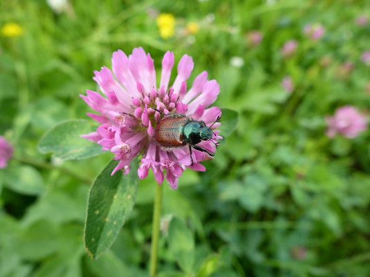 Käfer in der Blüte eines Rotklees