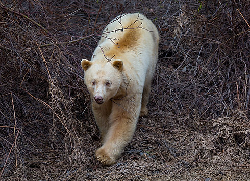 Northern spirit kermode bear, rare symbo