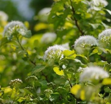 アメリカテマリシモツケとアオハダの花が咲く。そしてバラも。