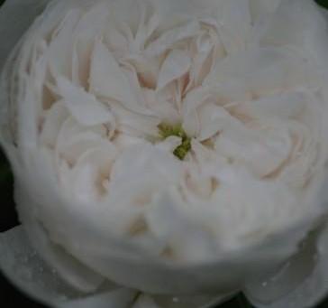 今週は私の好きなバラをご紹介