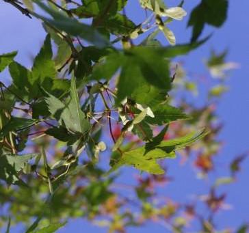 秋の気配|モミジの種、サルスベリとハナミズキの実