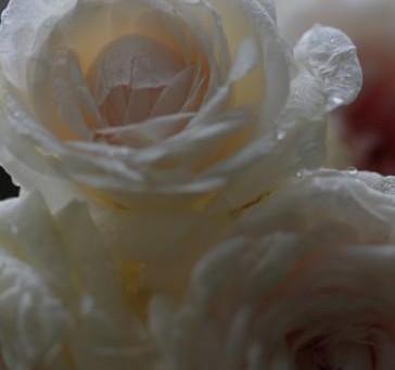 返り咲きのバラとブルーベリーの収穫