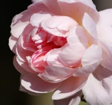 今年最後のバラの花|モーティマ-・サックラー ニュー・ウェーブ