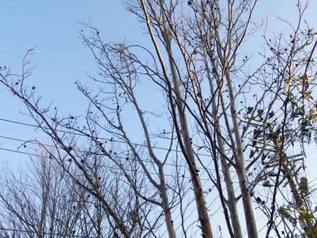 落葉後の樹形|シャラノキとヤマモミジ