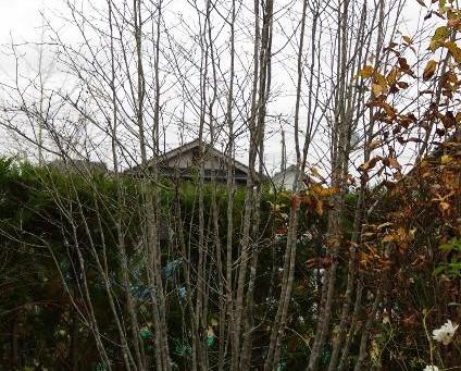落葉後の樹形|カツラ アオハダ 株立