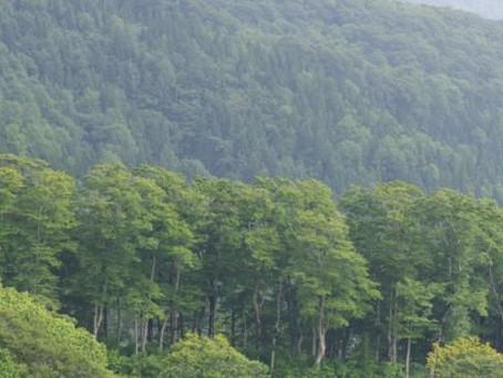 森吉山の高山植物|コバギボウシ|ヤマブキショウマほか